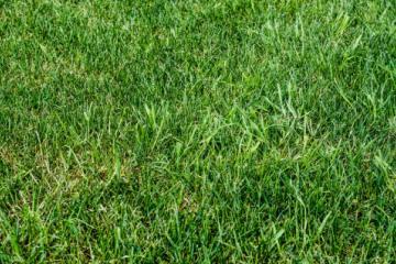 Рулонный газон «Эконом»