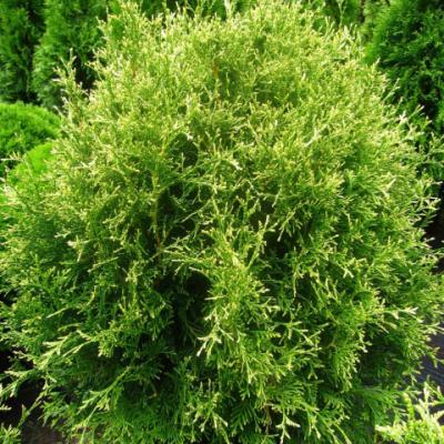 Туя западная «Рекурва Нана» (Thuja occidentalis «Recurva Nana»)