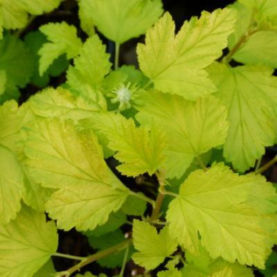 Пузыреплодник калинолистный, спирея калинолистная «Нуггет» (Physocarpus opulifolius «Nugget»).