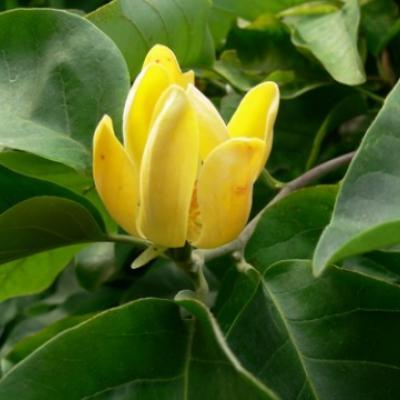 Магнолия длиннозаостренная, огуречная (Magnolia acuminata)