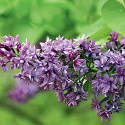 Сирень гиацинтоцветная «Роял Пёрпл» (Syringa × hyacinthiflora Royal Purple DVII) (Skinner, 1966).