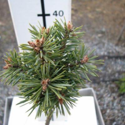 Сосна обыкновенная «Саксатилис» (Pinus sylvestris «Saxatilis»)