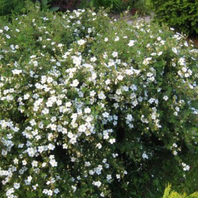 Лапчатка кустарниковая, курильский чай кустарниковый «Абботсвуд» (Potentilla fruticosa «Abbotswood»).