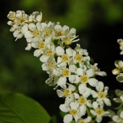 Черемуха обыкновенная «Метео» (Prunus padus = Padus «Метео»)