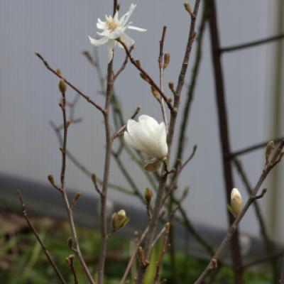 Магнолия Лебнера «Уайлдкэт» (Magnolia loebneri «Wildcat)