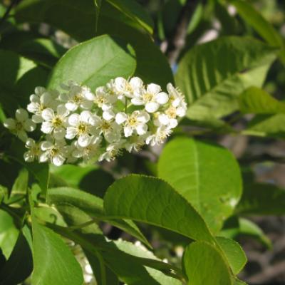 Черемуха виргинская (Prunus virginiana = Padus virginiana)