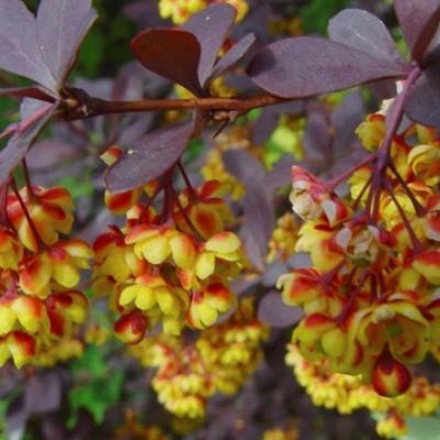 Барбарис оттавский «Суперба» (Berberis × ottawensis «Superba»)