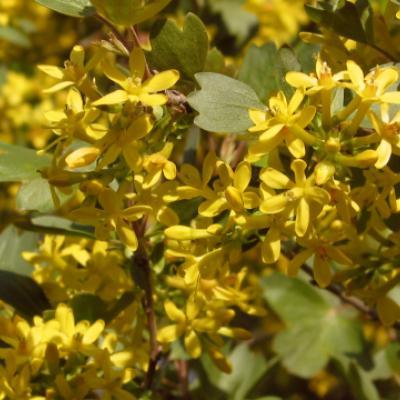 Смородина золотистая (Ribes odoratum = R. Aureum).