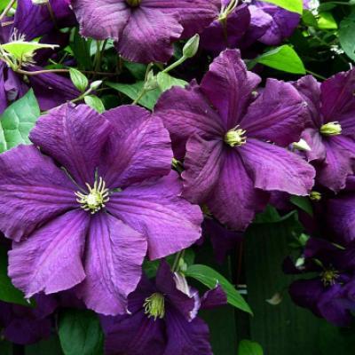 Клематис фиолетовый (Clematis viticella).