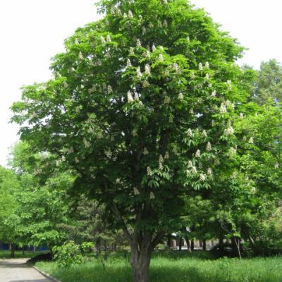 Конский каштан обыкновенный (Aesculus hippocastanum).
