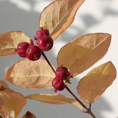 Снежноягодник «Доренбоза» (Symphoricarpos × doorenbosii).