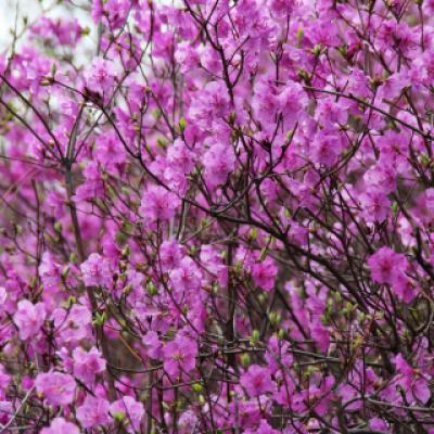 Рододендрон даурский (Rhododendron dauricum).