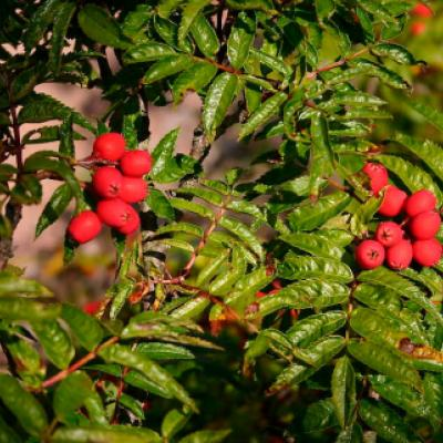 Рябина бузинолистная (Sorbus sambucifolia)