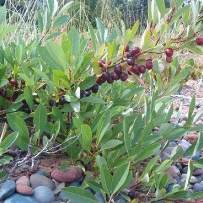 Вишня песчаная, карликовая (Prunus pumila)