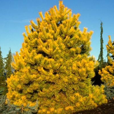 Pinus sylvestris «Aurea»