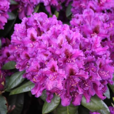 Рододендрон катевбинский «Азурро» (Rhododendron «Azurro» Ponticum Group (H. Hachmann 1986).