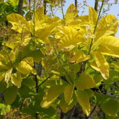 Скумпия обыкновенная «Голден Спирит» = «Анкот» (Cotinus coggygria «Golden Spirit» = «Ancot»).