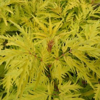 Бузина кистистая, бузина красная «Плюмоса Аурея» (Sambucus racemosa «Plumosa Aurea»).