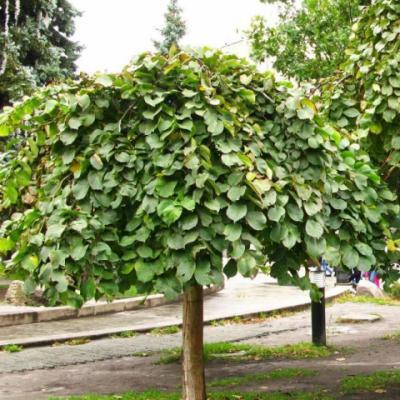 Вяз шершавый, голый, ильм горный «Кампердоуни» (Ulmus glabra «Camperdownii»)