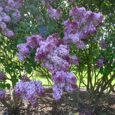 Сирень гиацинтоцветная (Syringa × hyacinthiflora).