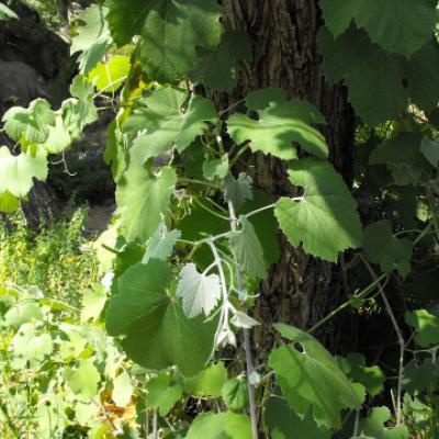 Виноград Гирда ( Vitis girdiana )