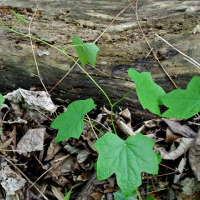 Луносемянник канадский (Menispermum canadense).