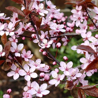 Слива растопыренная (Prunus divaricata = P. Cerasifera)