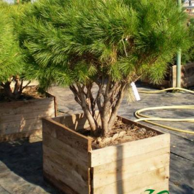 Сосна густоцветная «Алиса Веркаде» (Pinus densiflora «Alice Verkade»)