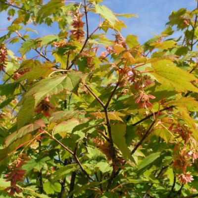 Клен желтый, укурунду (Acer caudatum subsp. ukurunduense = A. ukurunduense)