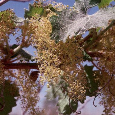 Виноград аризонский ( Vitis arizonica ).