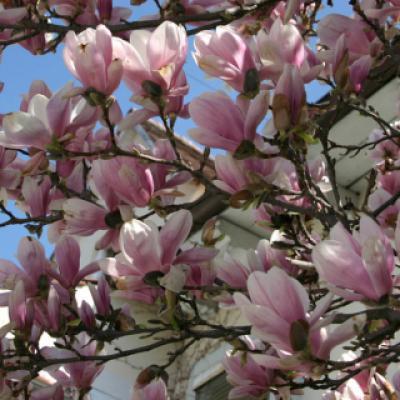 Магнолия Суланжа (Magnolia x soulangeana)
