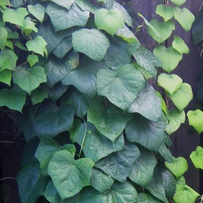 Луносемянник даурский (Menispermum dauricum L.).