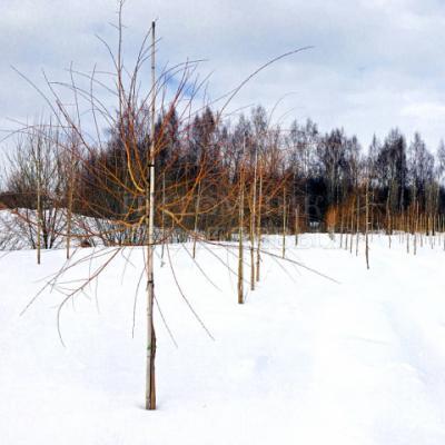 Ива «Памяти Миндовского» (Salix «Pamyati Mindovskogo»)