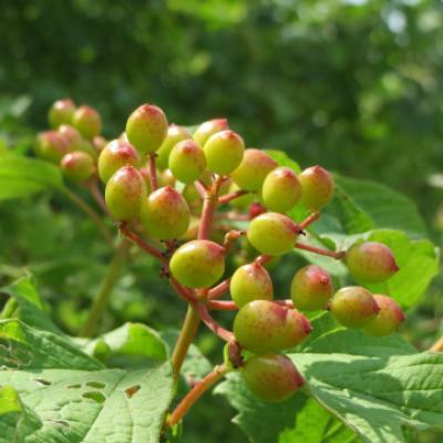 Калина обыкновенная (Viburnum opulus).