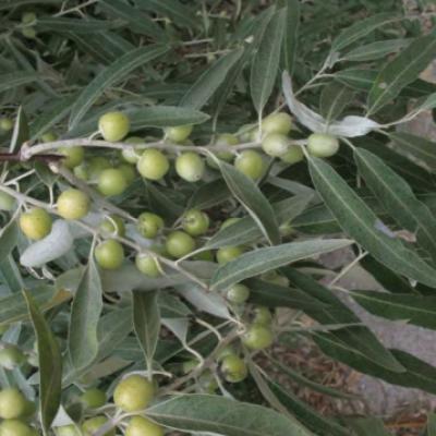 Лох узколистный (Elaeagnus angustifolia).