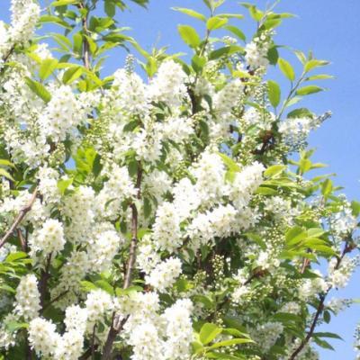 Черемуха обыкновенная (Prunus padus = Рadus avium)