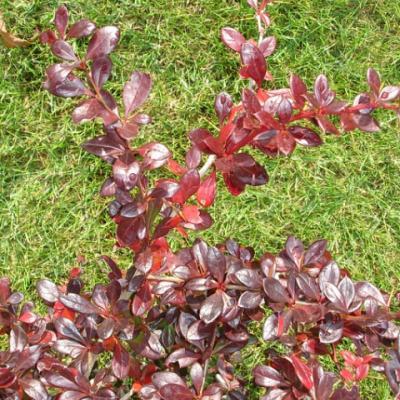Барбарис средний «Ред Джевел» (Berberis × media «Red Jewel»).