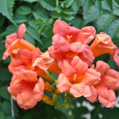 Растение кампсис (Сampsis).