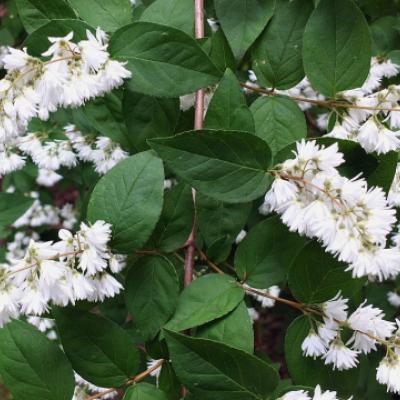 Дейция кальмиецветная, кальмиецветковая (Deutzia purpurascens «Kalmiiflora» = D. kalmiiflora)