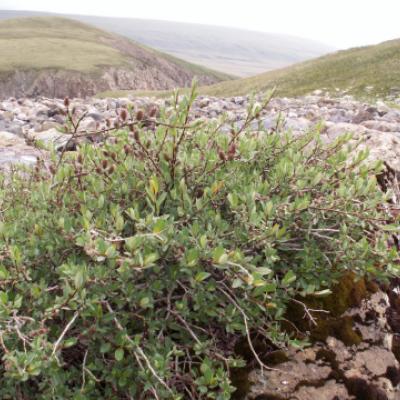 Ива голубовато-серая (Salix caesia)