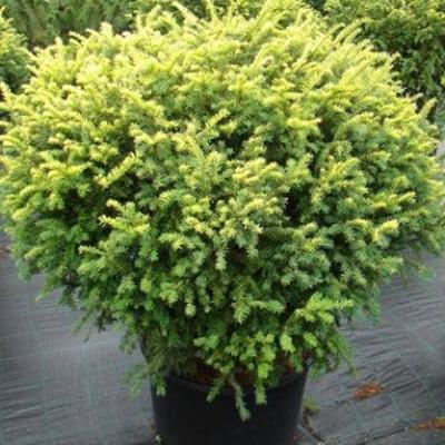 Тис ягодный «Элегантиссима» Taxus baccata «Elegantissima»