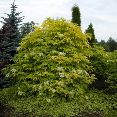 Бузина черная «Аурея» (Sambucus nigra «Aurea»).