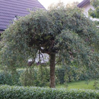 Карагана древовидная «Пендула» = Акация желтая «Пендула» (Caragana arborescens «Pendula»).