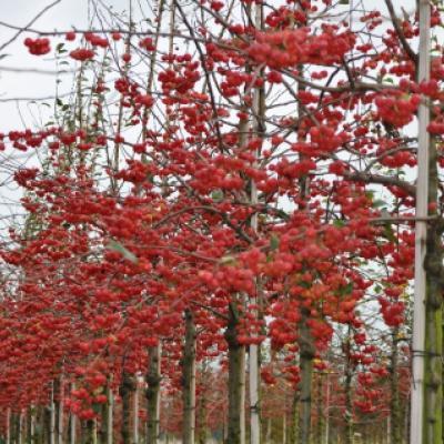 Яблоня «Ред Сентинел» (Malus «Red Sentinel»)