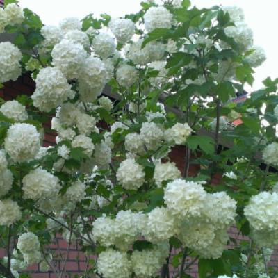 Калина обыкновенная «Розеум» = «Стериле», «Буль-де-неж», «Снежный шар» (Viburnum opulus «Roseum», «Sterile», «Snowball»).
