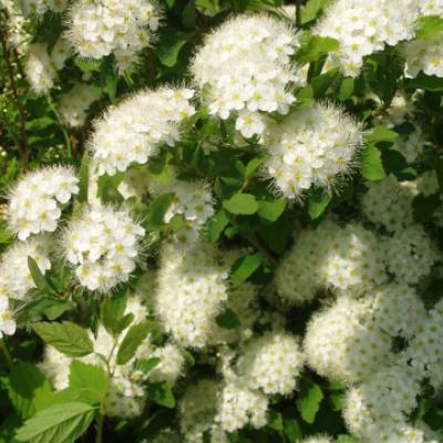 Спирея дубравколистная (Spiraea chamaedryfolia).