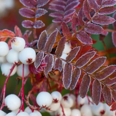 Рябина Кёне (Sorbus frutescens = S. koehneana)