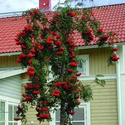 Рябина обыкновенная «Пендула» (Sorbus aucuparia «Pendula»)