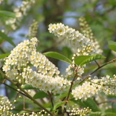 Черемуха обыкновенная «Вотерери» (Prunus padus «Watereri»)