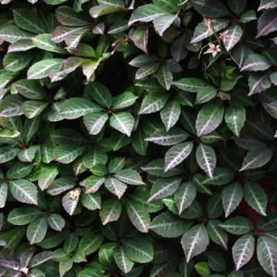 Партеноциссус Генри (Девичий виноград)(Parthenocissus henriana).